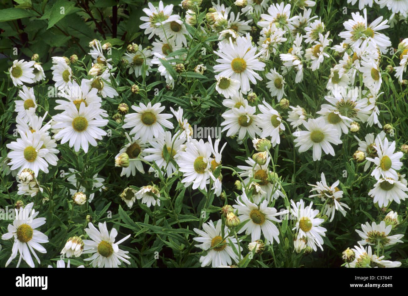 Leucanthemella serotina chrysanthemum uliginosum white flower stock leucanthemella serotina chrysanthemum uliginosum white flower flowers green centre centres garden plant plants mightylinksfo