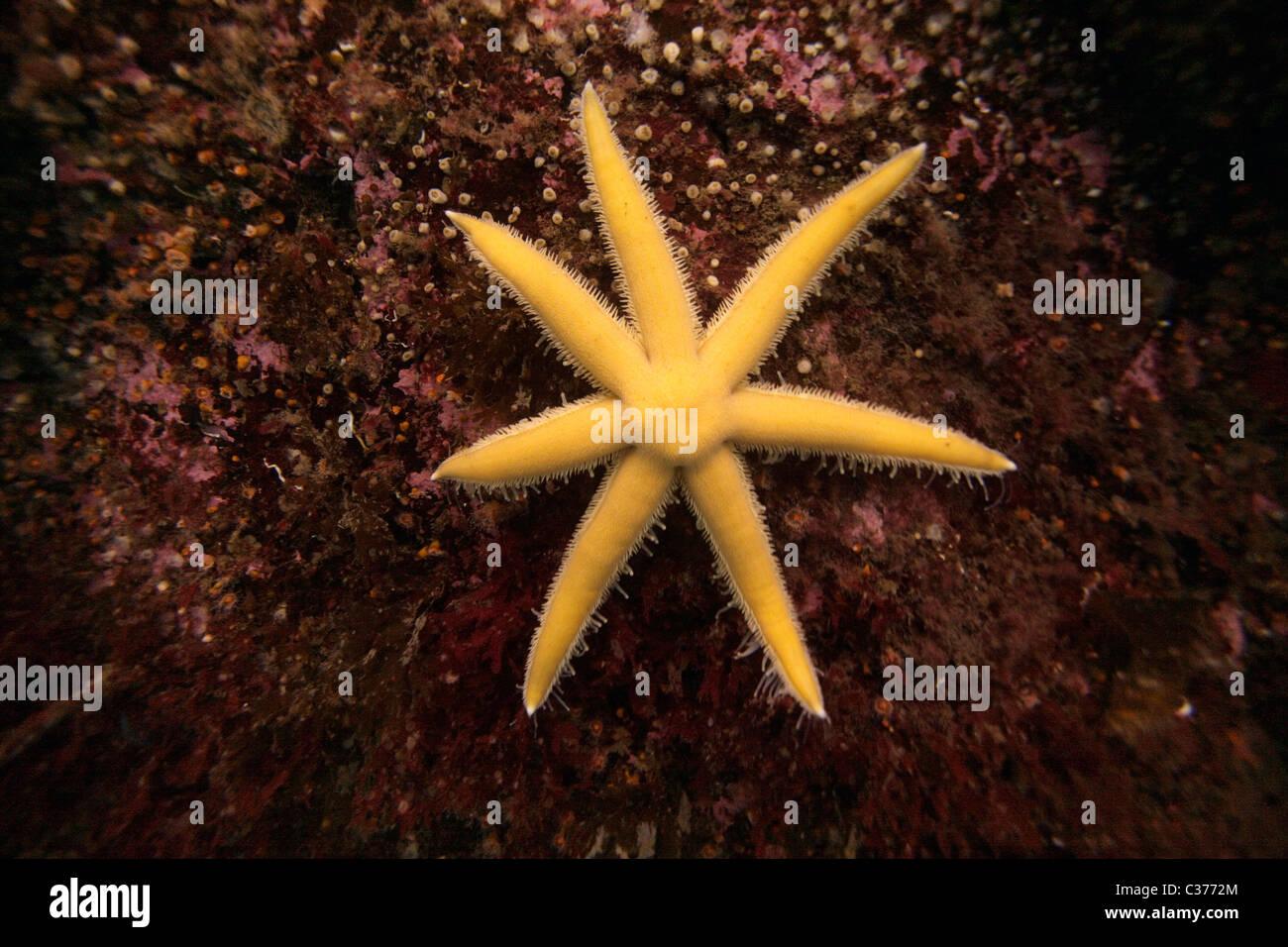 seven armed starfish. (Luidia ciliaris). Outer Hebrides, Scotland - Stock Image