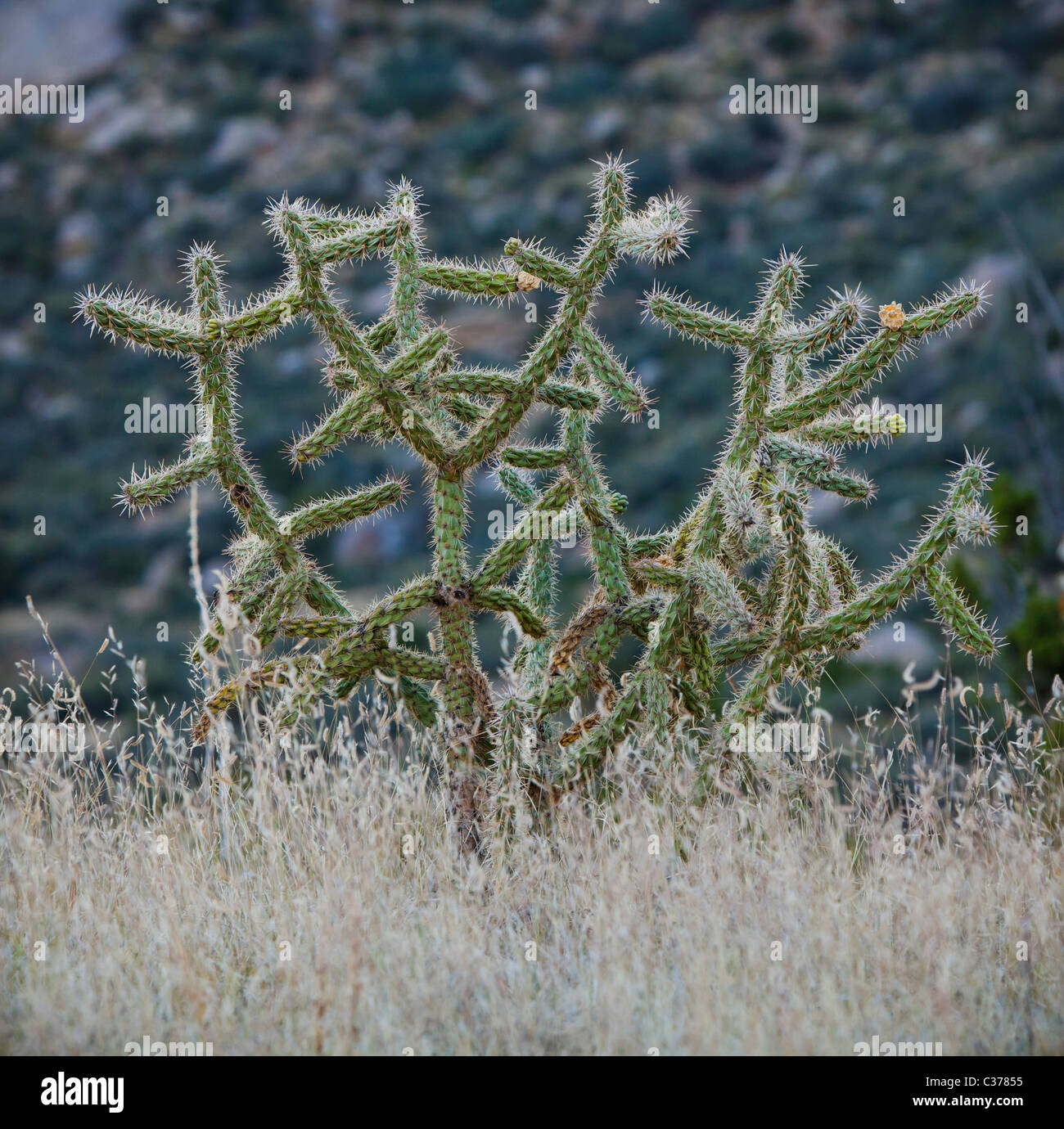 Cholla cactus and other faoilage in the desert foothills of the Sandia mountains, New Mexico, USA. Stock Photo
