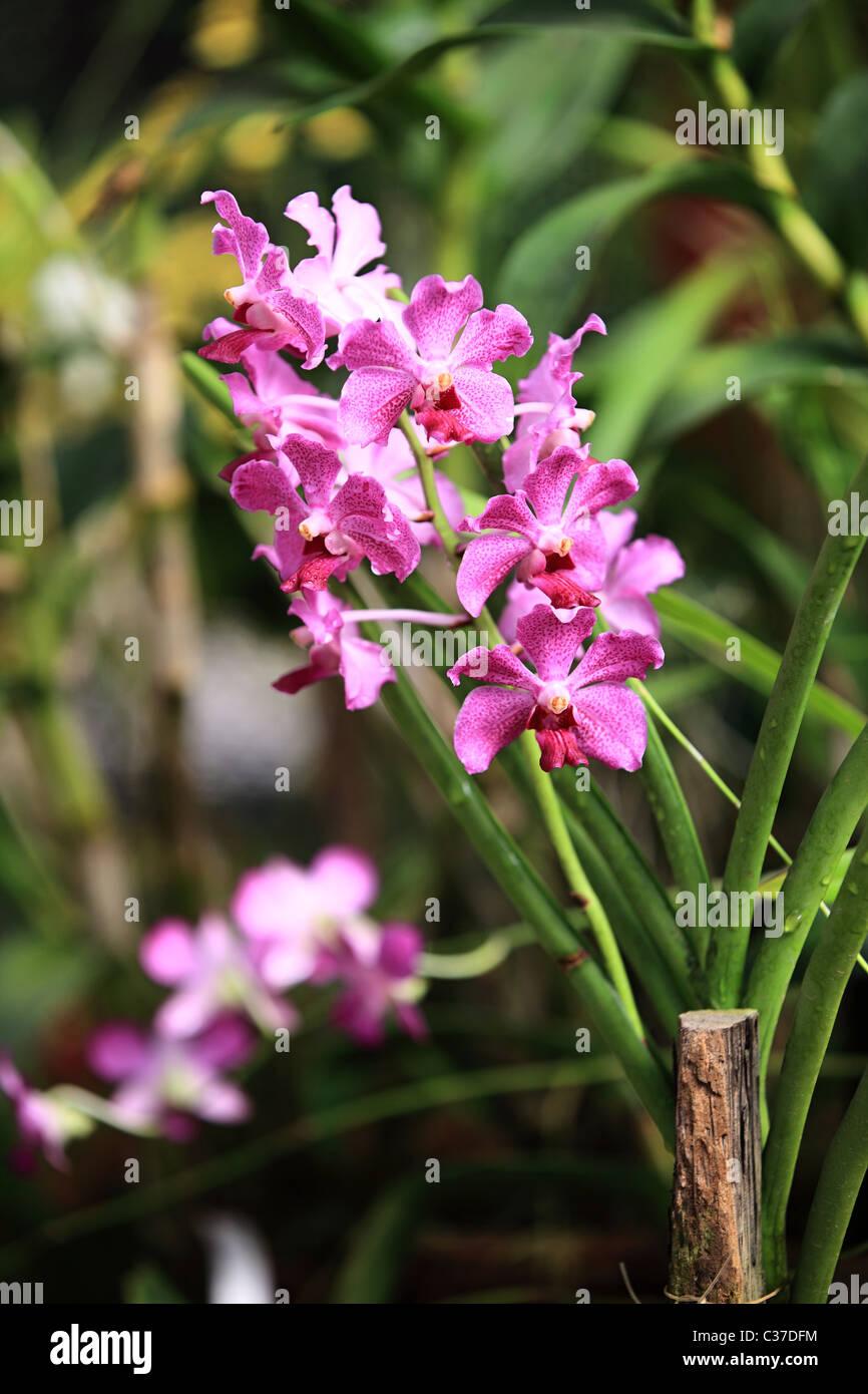 Orchid Flower In Sri Lanka Asia Stock Photo Alamy