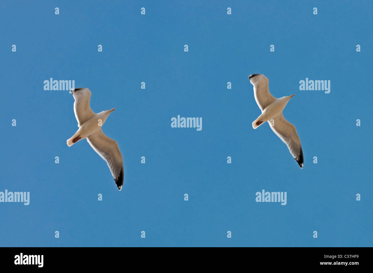 Seagulls (Laridae) flying in the sky, Province of Zeeland, the Netherlands - Stock Image