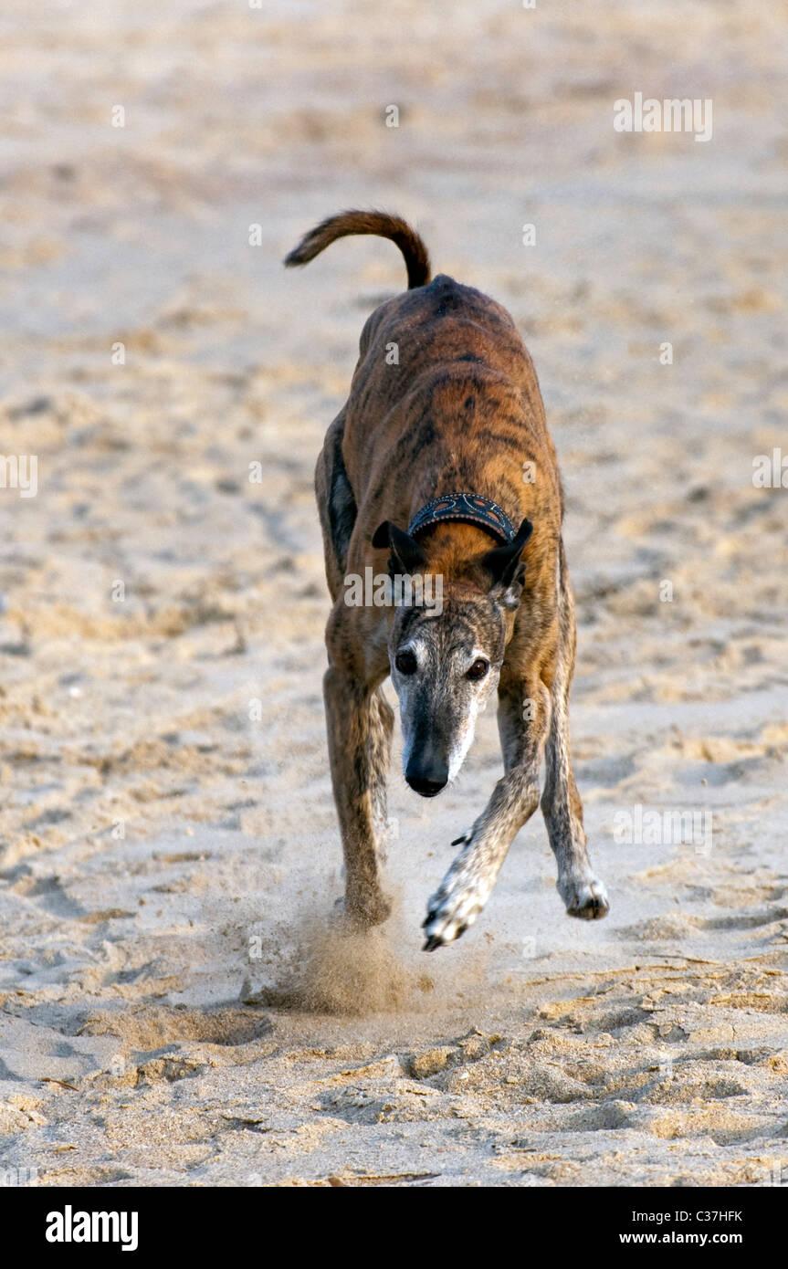 Sighthound / gazehound running on beach, the Netherlands Stock Photo