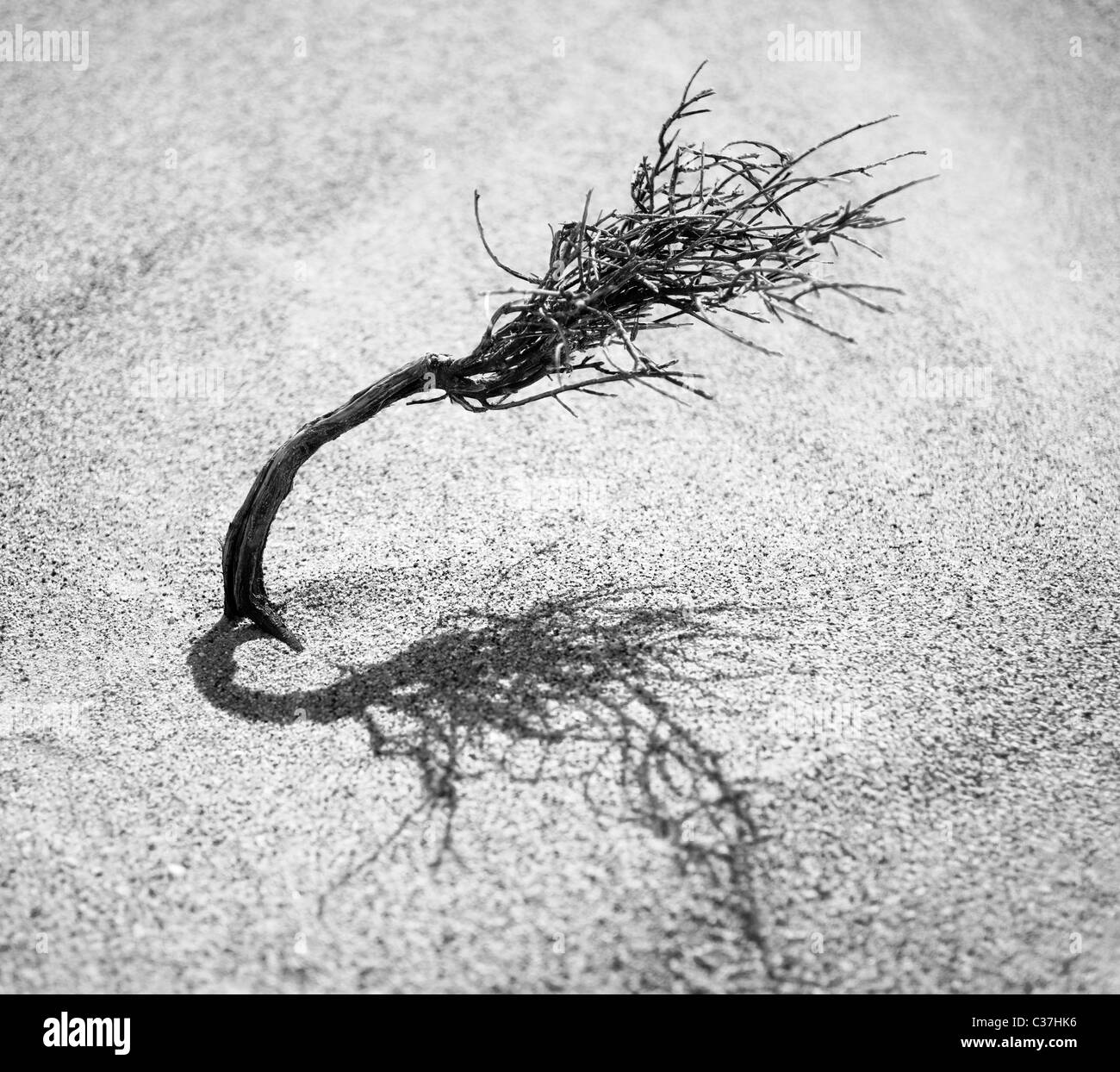 Plant trying to survive in a desert, Namibia, Africa - Stock Image