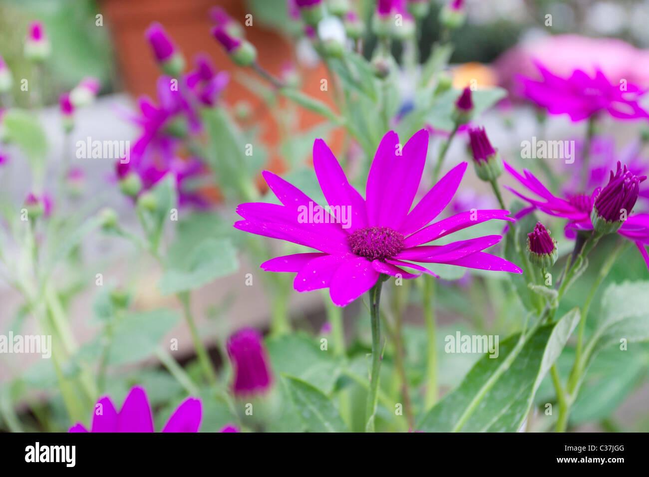 Perennial Spring Flowering Pink Flowers Called Senetti Stock Photo