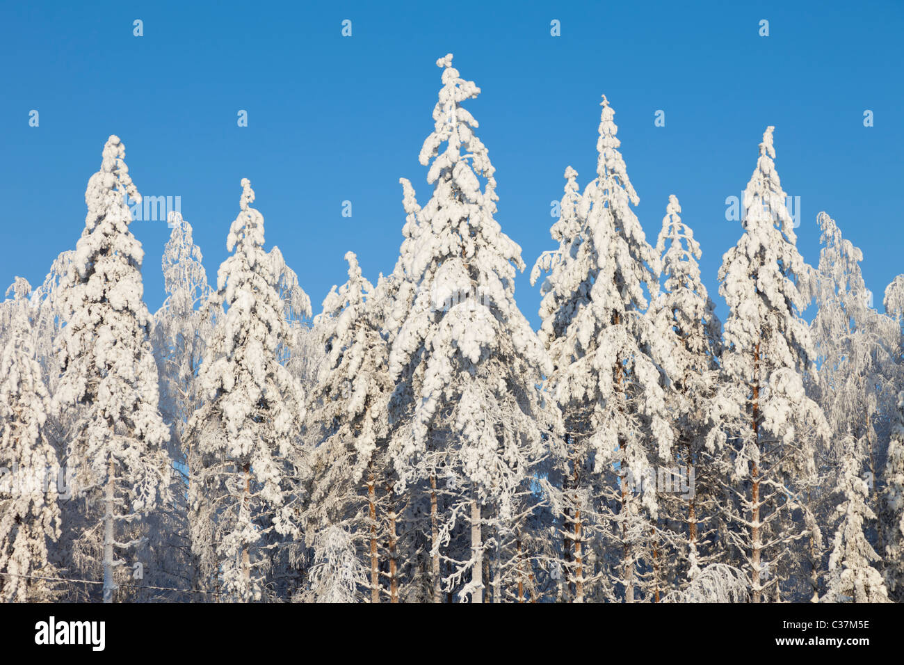 View of snow covered spruce ( Picea Abies ) and pine ( Pinus Sylvestris ) treetops in the forest , Finland - Stock Image