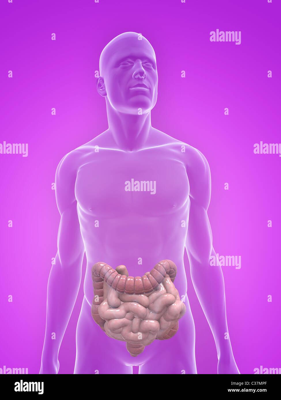Human Small Intestines And Colon Stock Photo 36434679 Alamy