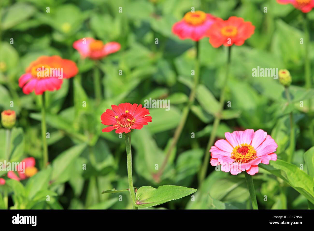 Beautiful Flowers In Sri Lanka Asia Stock Photo 36434976 Alamy