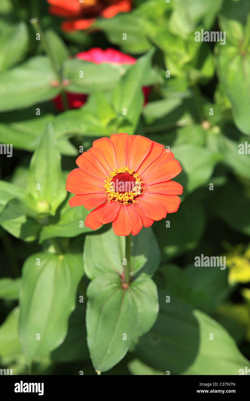Beautiful flowers in sri lanka asia stock photo 36435049 alamy beautiful flowers in sri lanka asia izmirmasajfo
