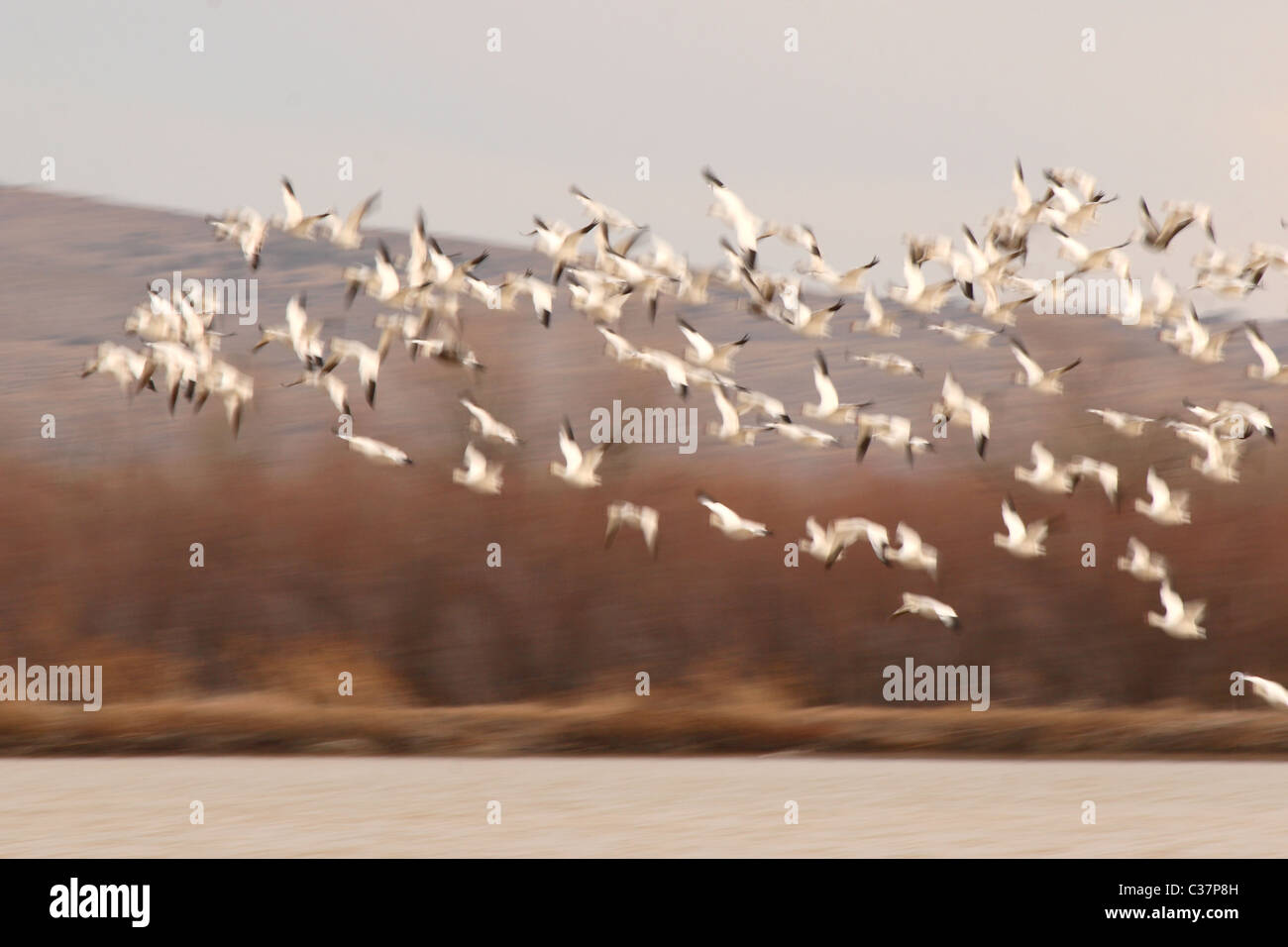 A Snow Goose flock lifting off of a spring pond in New Mexico. Stock Photo