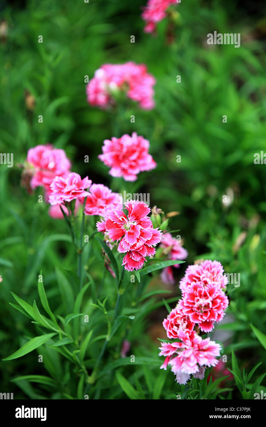 Beautiful Flowers In Sri Lanka Asia Stock Photo 36436139 Alamy
