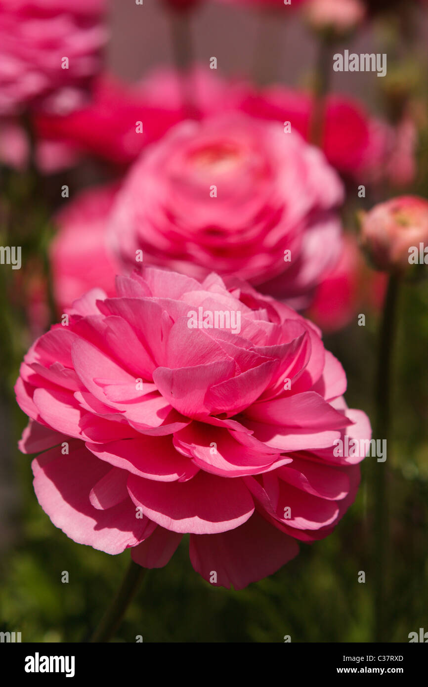 A macro capture of elegant, pink ranunculus blossoms - Stock Image