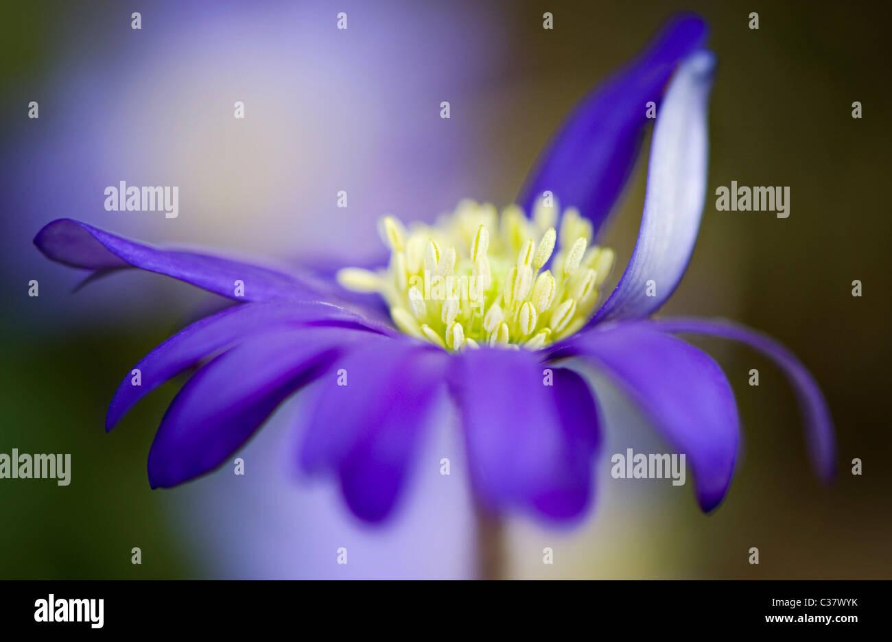 A single blue Anemone Blanda flower - Windflower Stock Photo