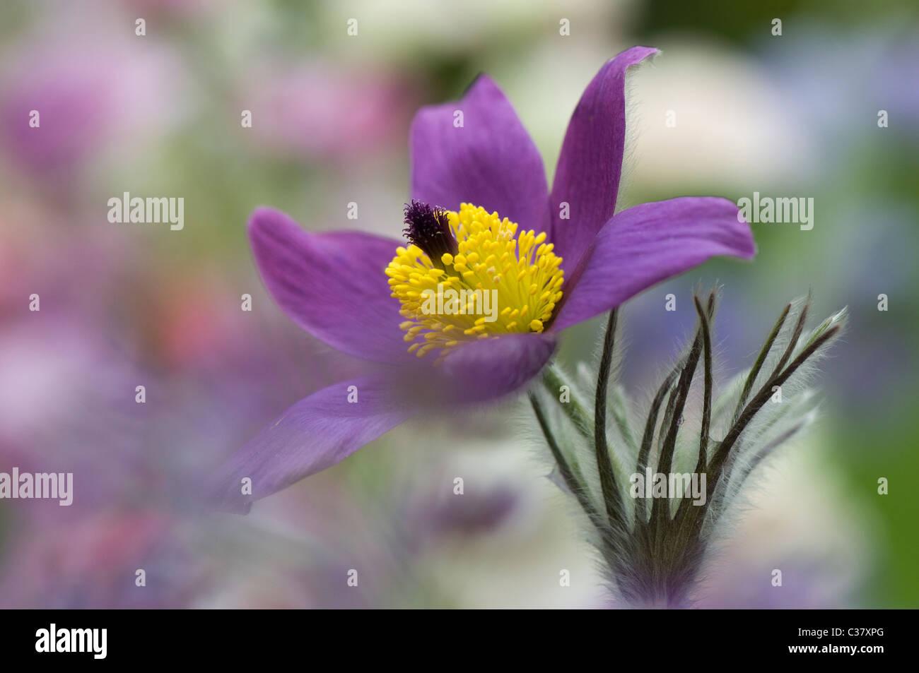 A single purple flower head of Pulsatilla vulgaris - Pasque flower, pasqueflower - Stock Image