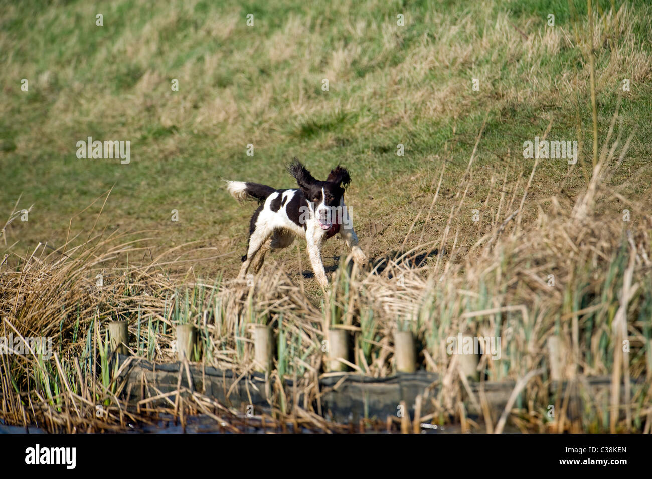 Loose dogs - Stock Image