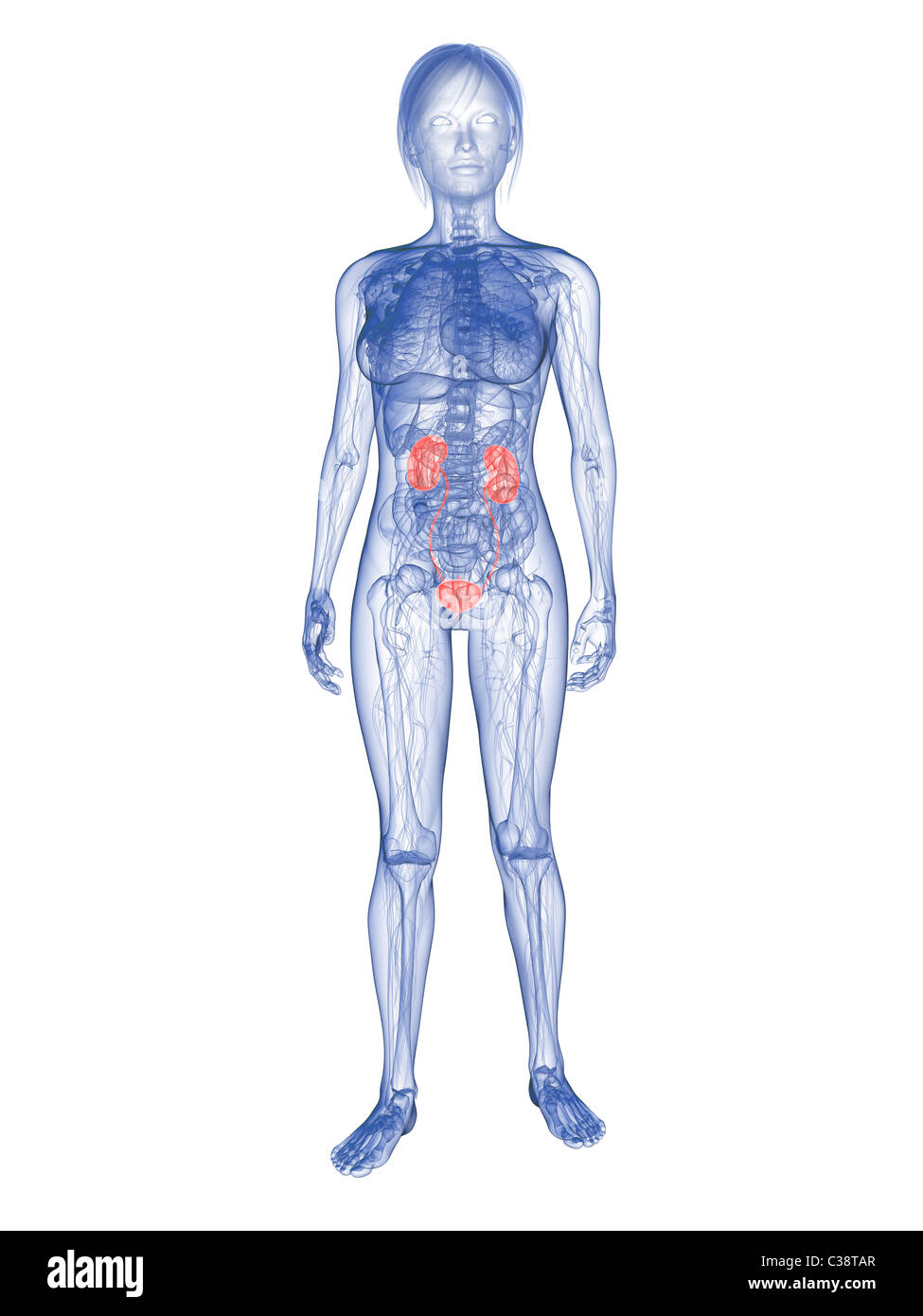Female Urinary System Stock Photo 36459439 Alamy