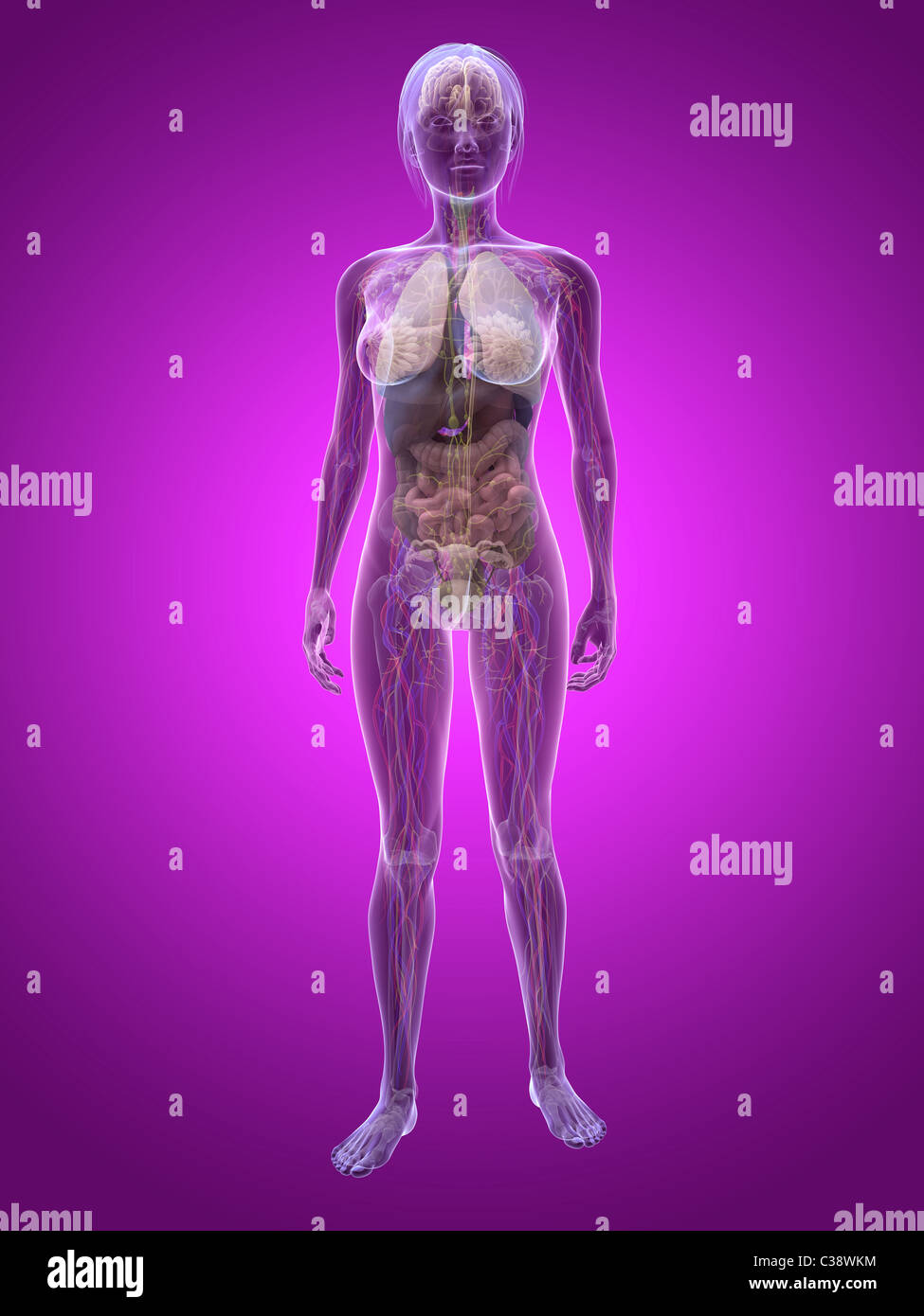 Female Body Organs Stock Photos & Female Body Organs Stock Images ...