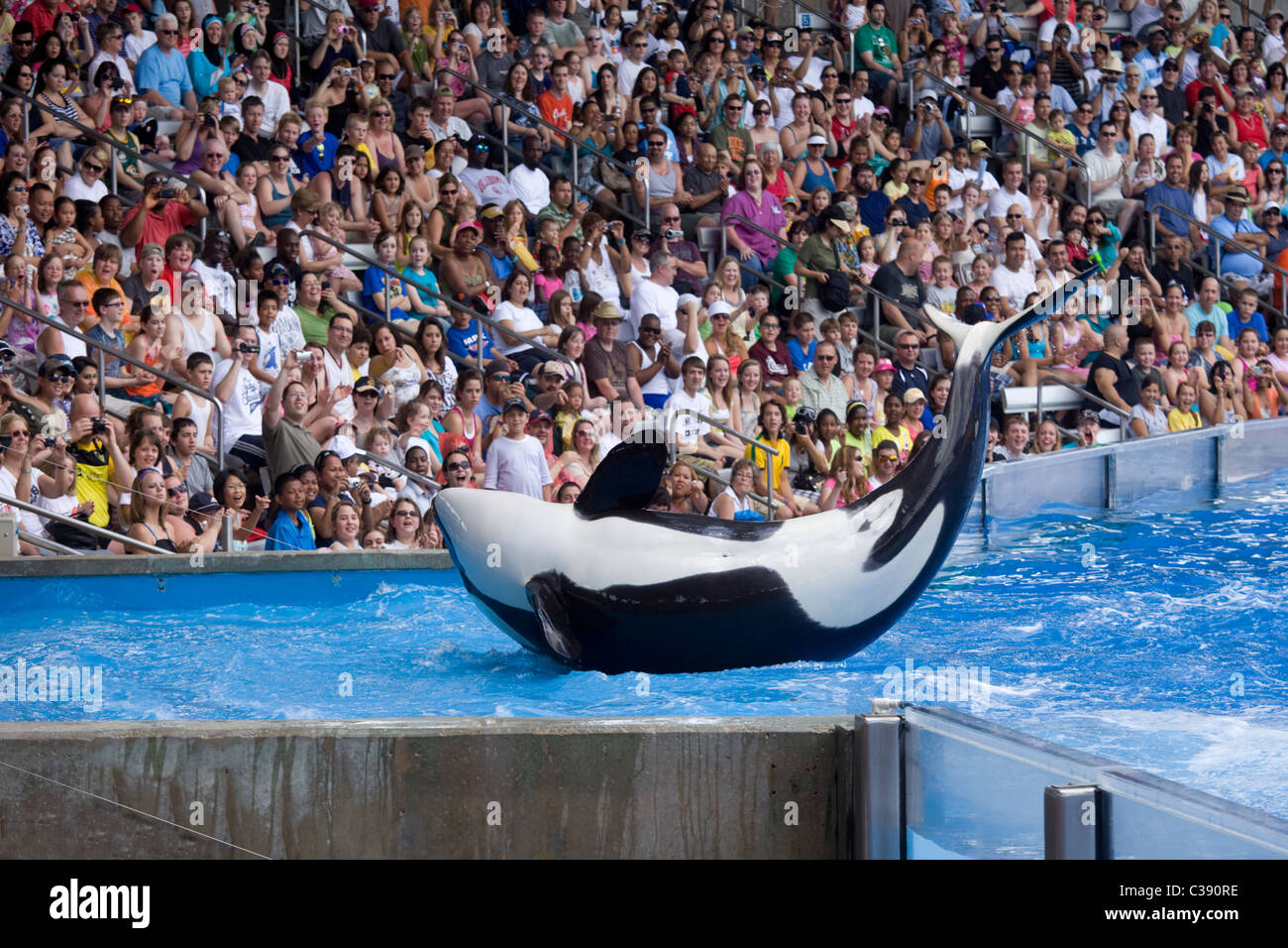 Killer whale performance in Orlando - Stock Image