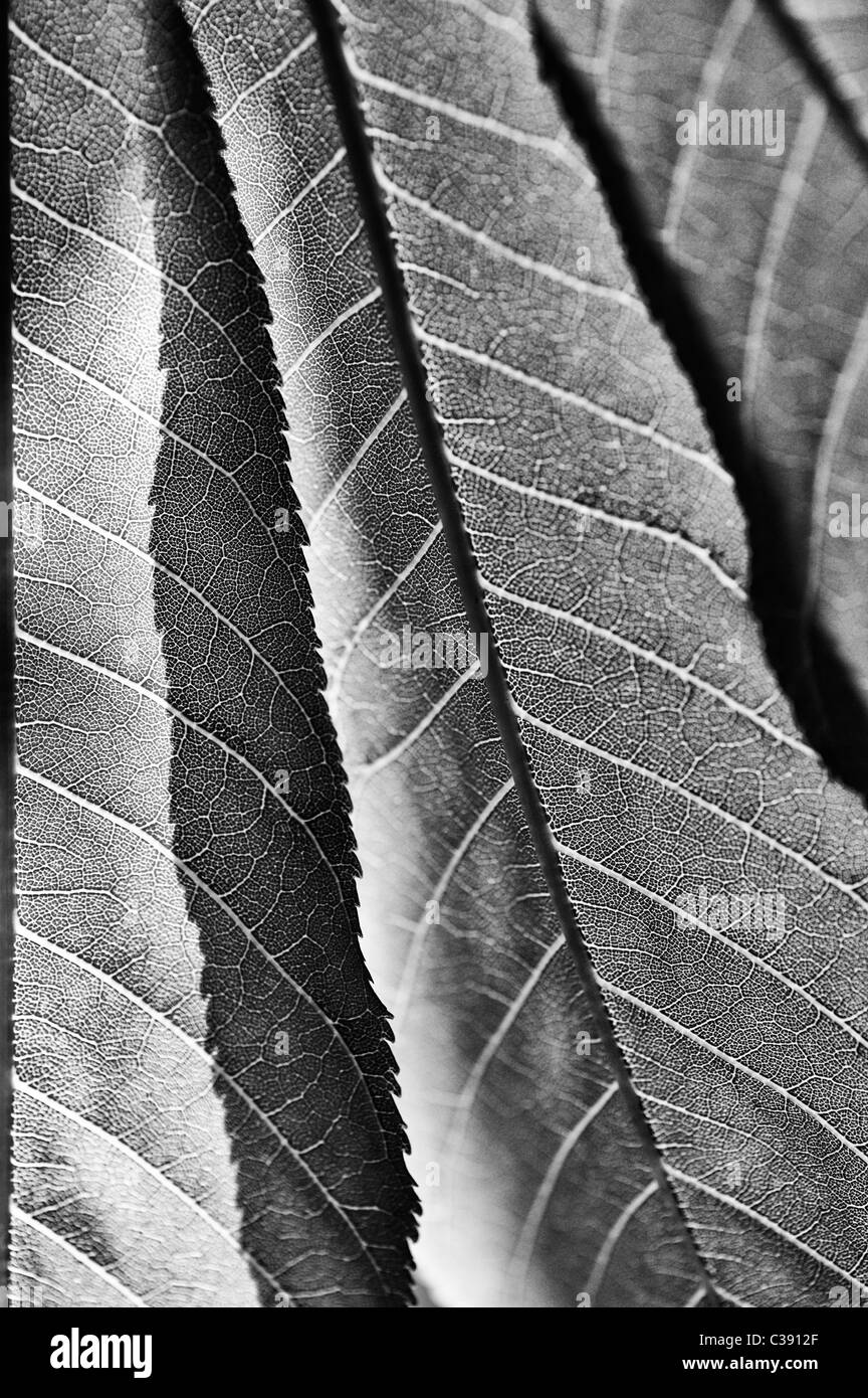 Aesculus induce. Indian or Himalayan horse chestnut tree leaves. Black and White - Stock Image