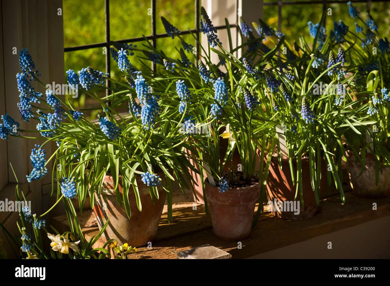 Potted Grape Hyacinths on windowsill - Stock Image