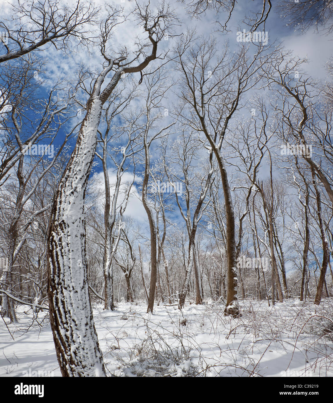Deciduous Woodland in Winter - Stock Image