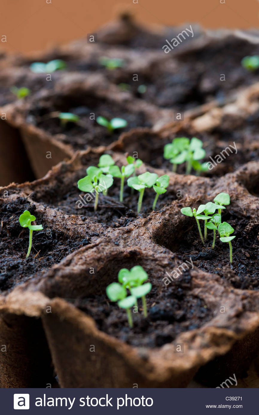 fibre seed tray Echinacea seedlings organic eco ecological boi-degradable garden plant gardening solution practical - Stock Image