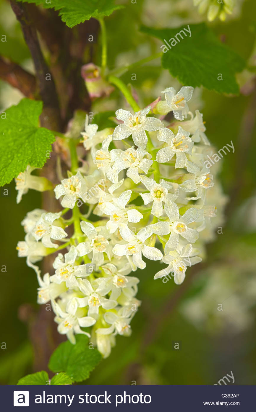 Flowering currant ribes sanguineum white icicle spring flower stock flowering currant ribes sanguineum white icicle spring flower deciduous shrub cream april garden plant mightylinksfo