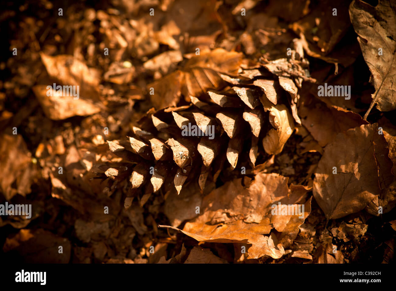 fir cone on autumn leaves - Stock Image