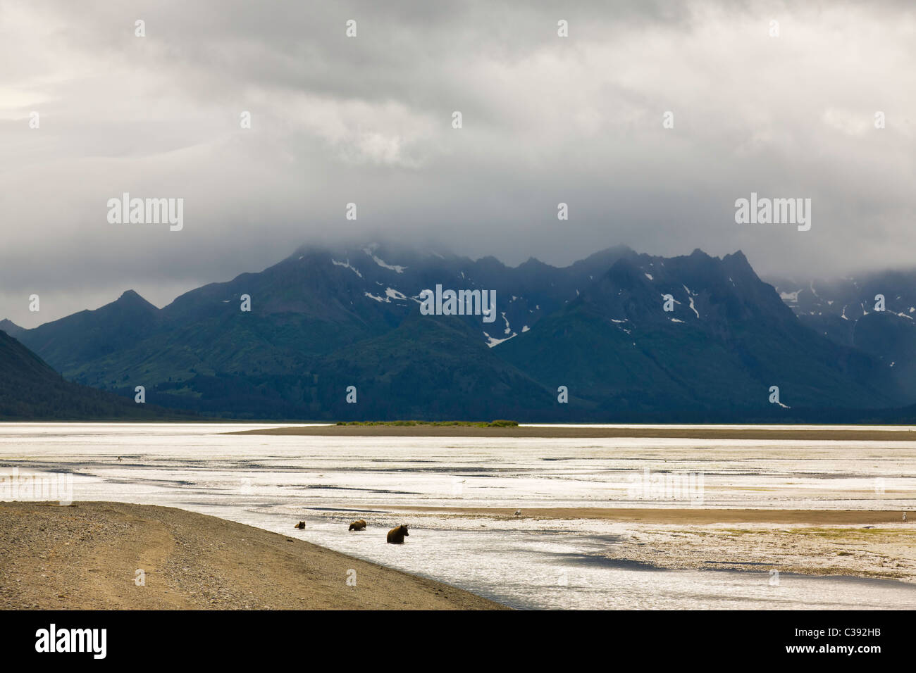 Brown bear sow and cubs fishing for salmon in Horn Creek along Chinitna Bay in Lake Clark National Park in Southcentral - Stock Image