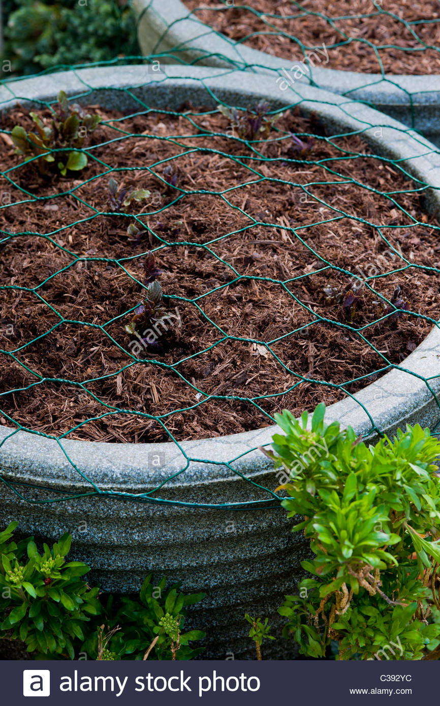 plant protection pots containers chicken wire surface prevent digging squirrels birds young shoots practical solution - Stock Image