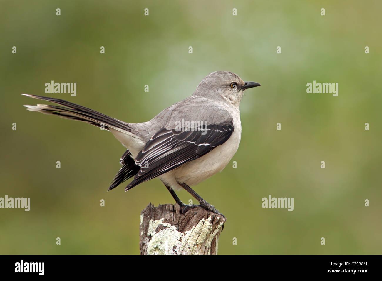 Crooked Tree Wildlife Sanctuary: Tropical Mockingbird Stock Photo