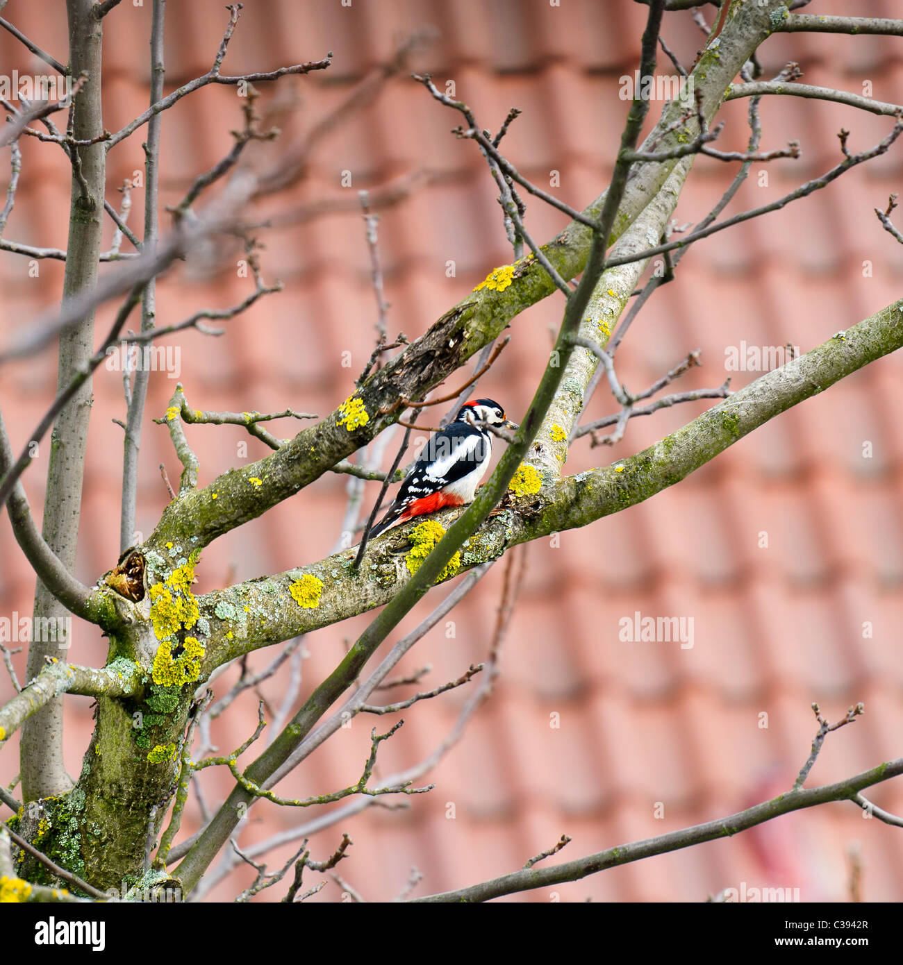 Lesser spotted woodpecker perched on nuts tree branch, Dendrocopos minor, Germany, Europe - Stock Image