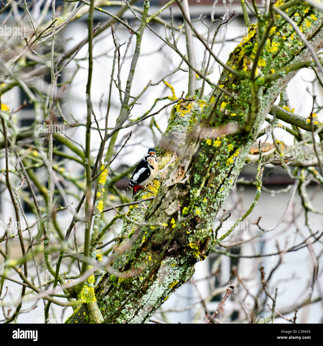 Lesser spotted woodpecker sitting on nuts tree branch, Dendrocopos minor, Germany, Europe - Stock Image