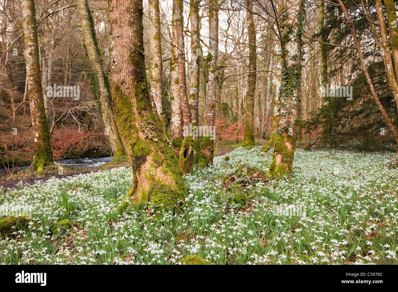 Wild Snowdrops (Galanthus nivalis) growing in woodland beside Afon Dwyfor River in late winter. Gwynedd, North Wales, - Stock Image