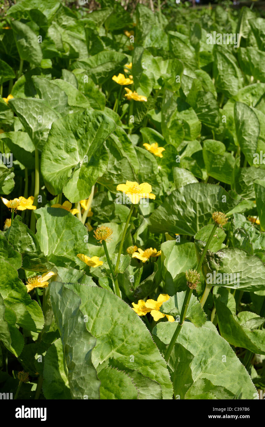 Caltha palustris (Kingcup, Marsh Marigold) is a herbaceous perennial plant of the buttercup family, native to marshes, Stock Photo