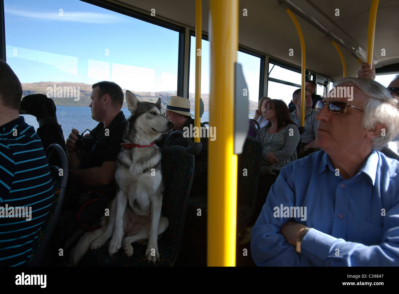 husky dog on a bus in mull in scotland - Stock Image