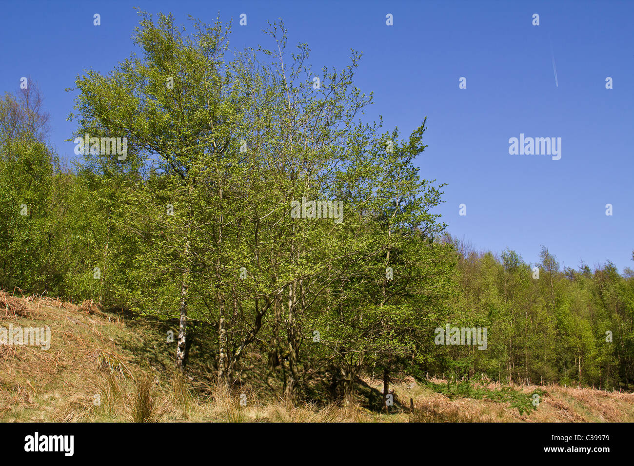 These wonderful looking young silver birch trees look fresh in the Spring sunshine below Howden Moor Stock Photo