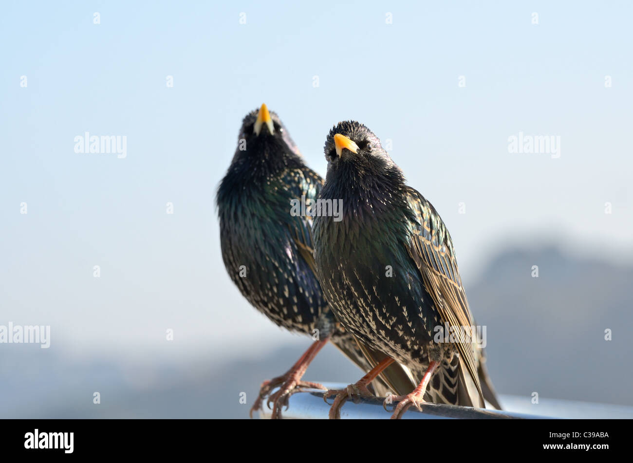 A pair of Starlings sitting on a Chrome rail in the afternoon sun Stock Photo