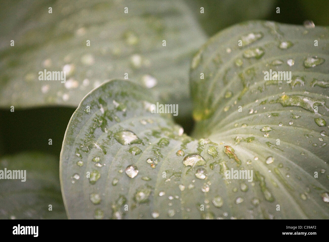 leaf with water dew droplets - Stock Image
