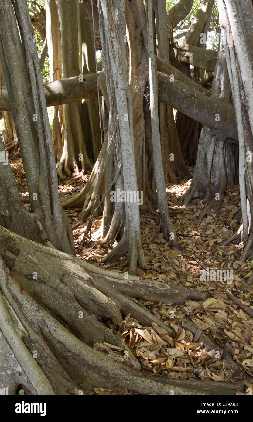 Lofty fig tree trunk - Stock Image
