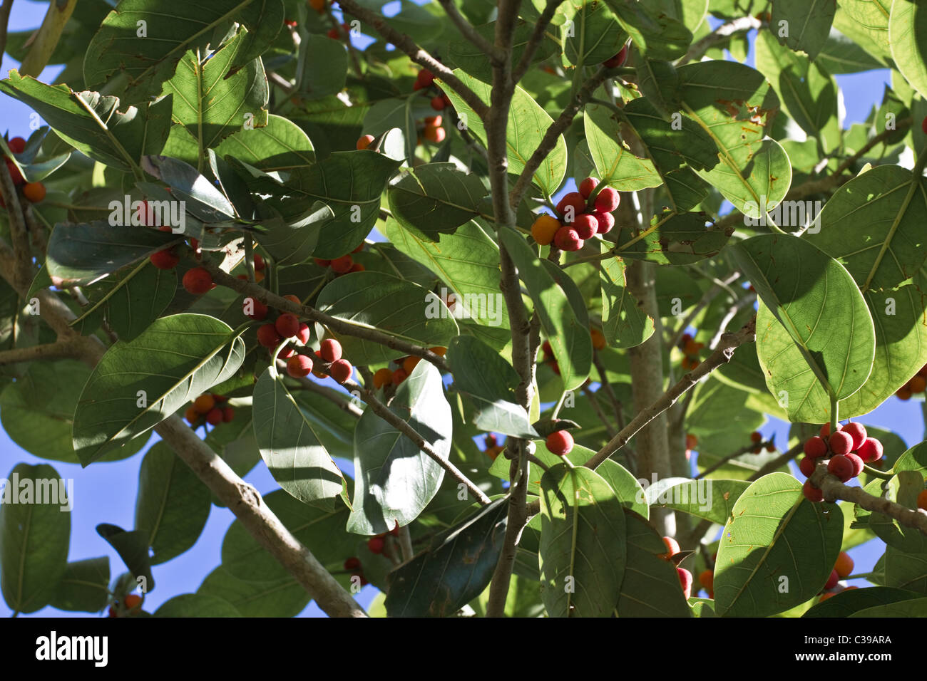 Lofty fig tree leaves and figs - Stock Image