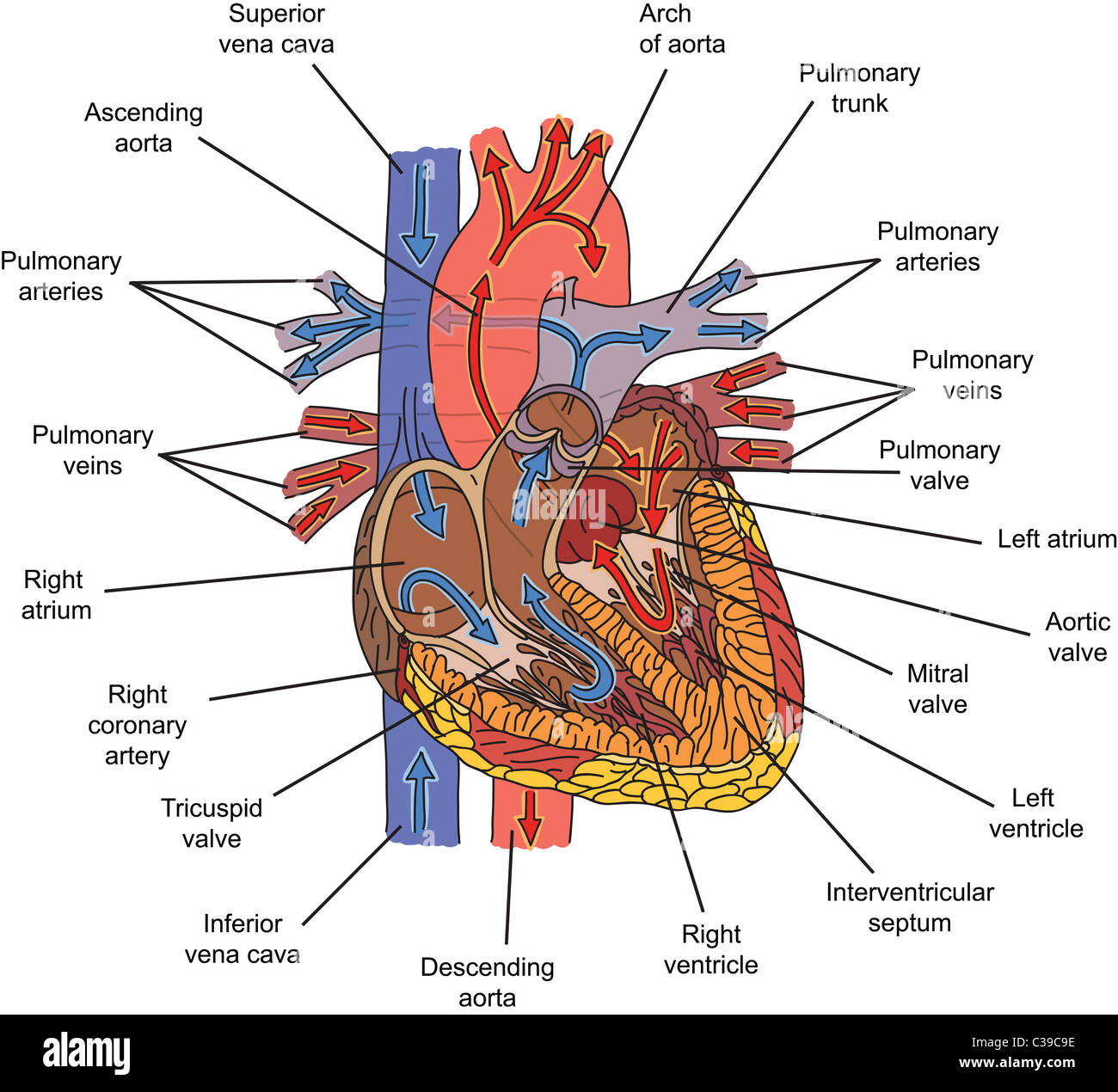 Structure Of Human Heart And Blood Flow Illustration Stock