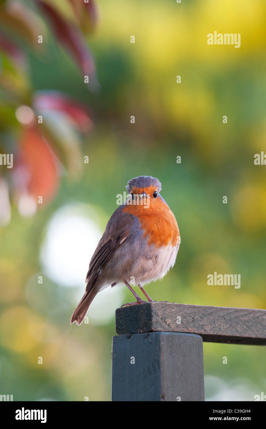 Robin on a garden trellis - Stock Image