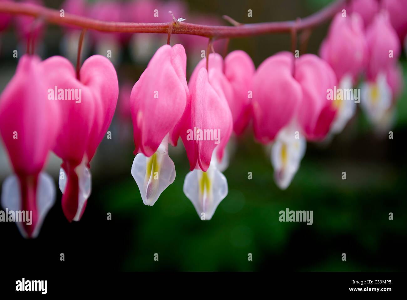 Dicentra Pink Bleeding Heart Flower Close Up Soft Focus Stock Photo