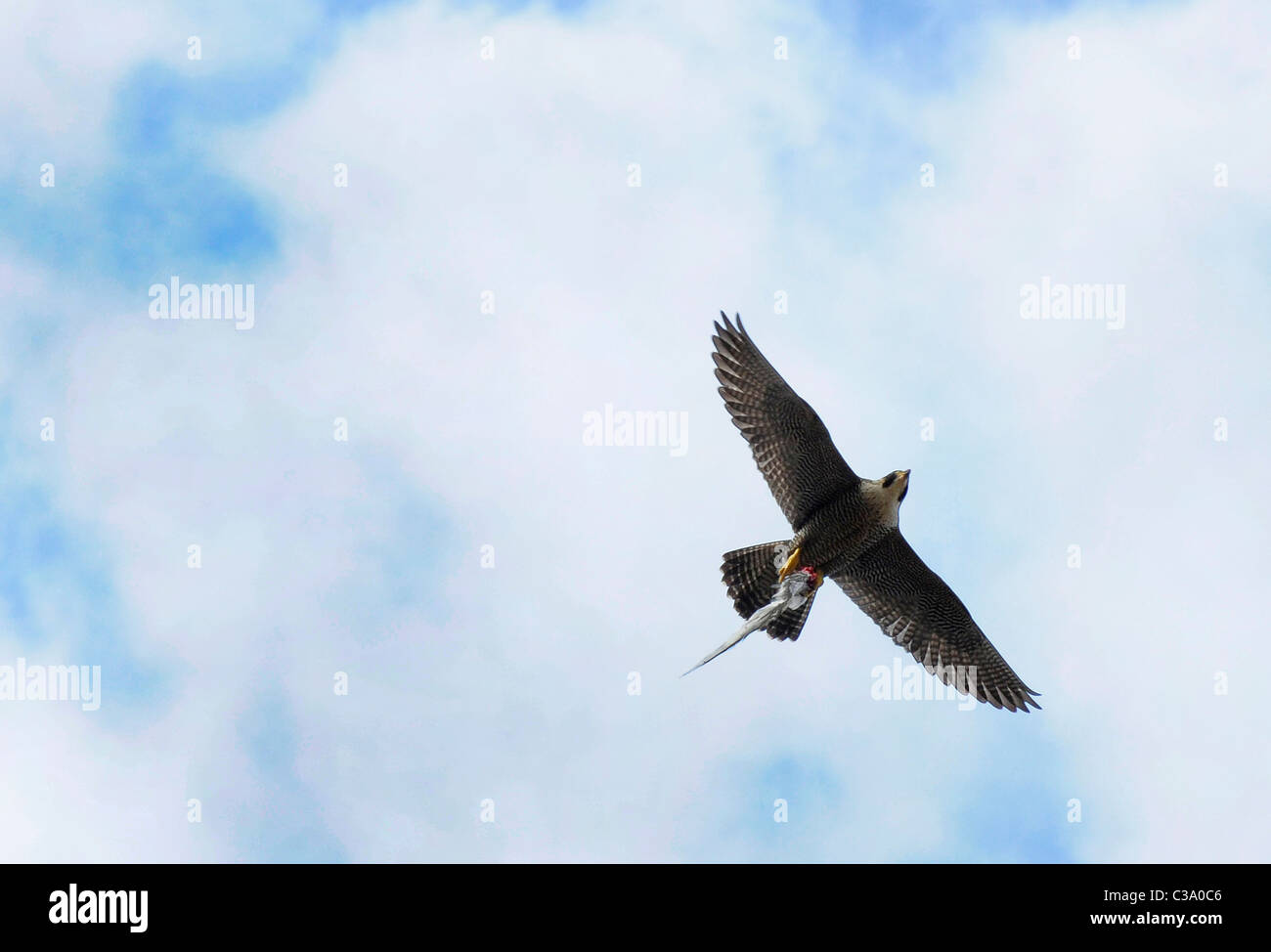 An adult Peregrine Falcon flying with a wing of a bird (Falco peregrinus) - Stock Image