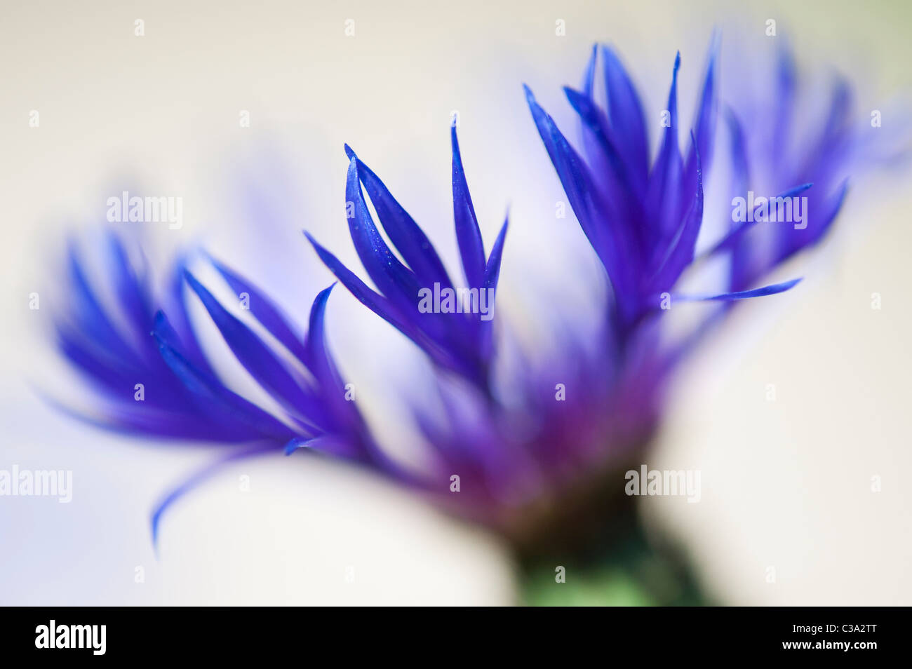 Centaurea montana. Perennial cornflower, Mountain bluet, Knapweed, Mountain knapweed against a light background. - Stock Image