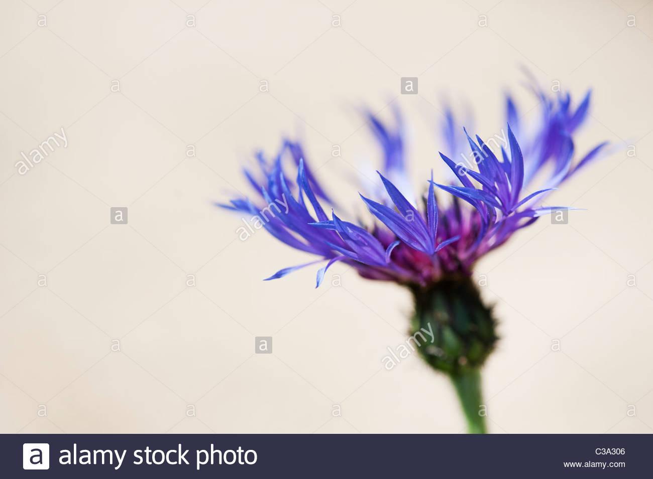 Centaurea montana. Perennial cornflower, Mountain bluet, Knapweed, Mountain knapweed against a light background. - Stock Image