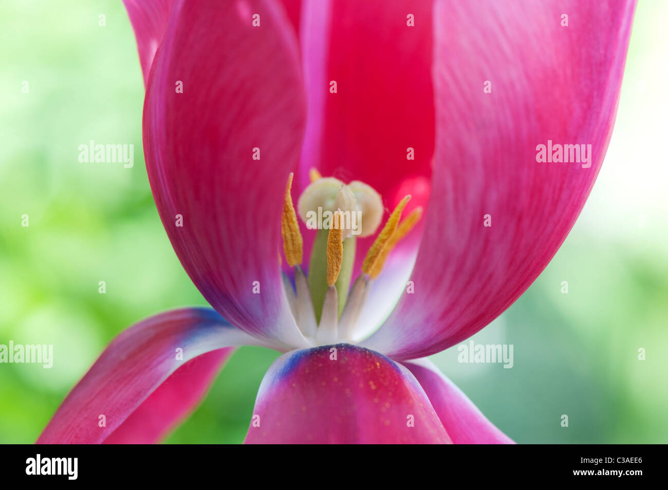 Tulipa. Pink Tulip showing pistil, stigma and stamens Stock Photo