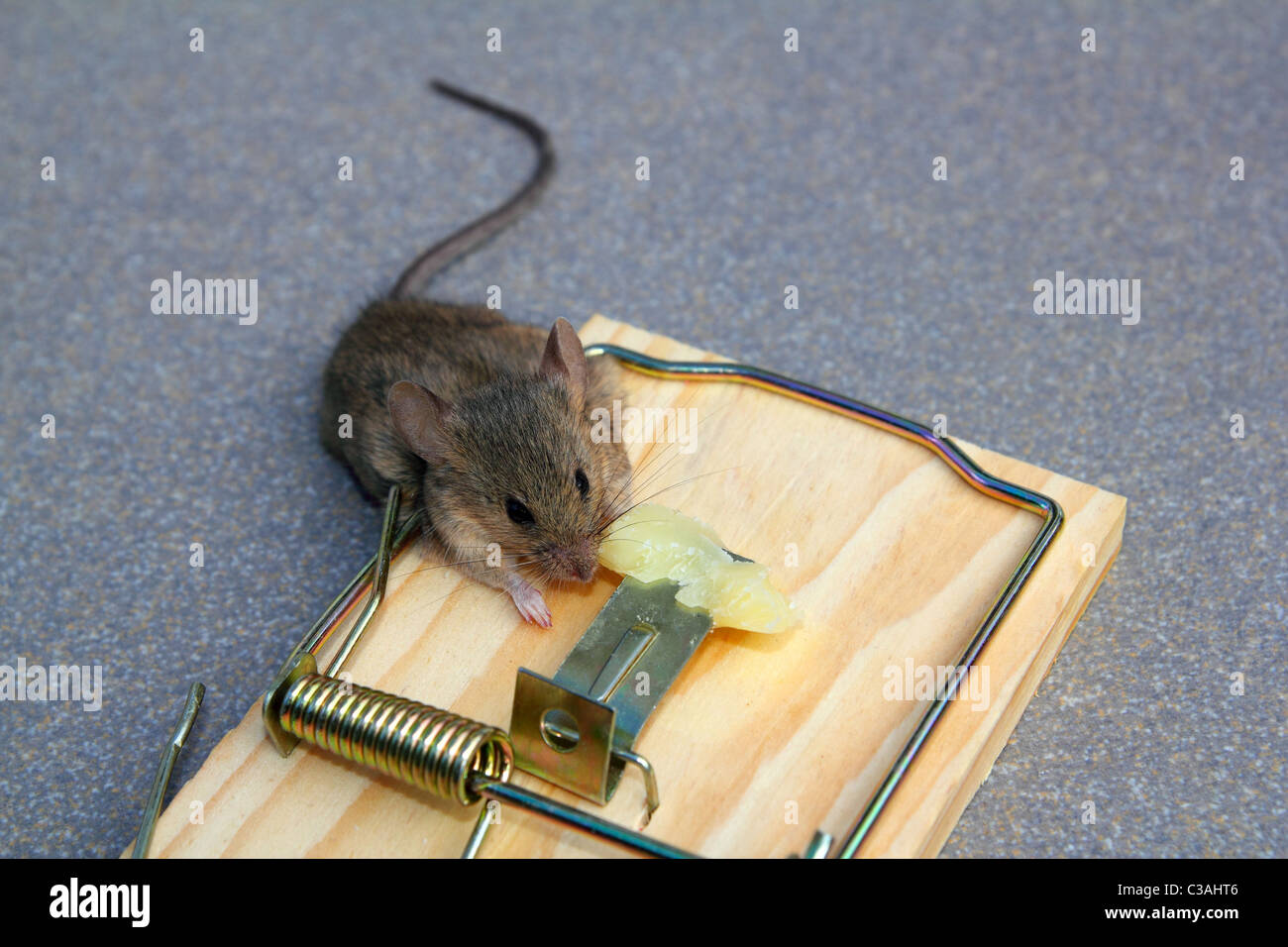 Mouse trap with real mouse catched eating cheese - Stock Image