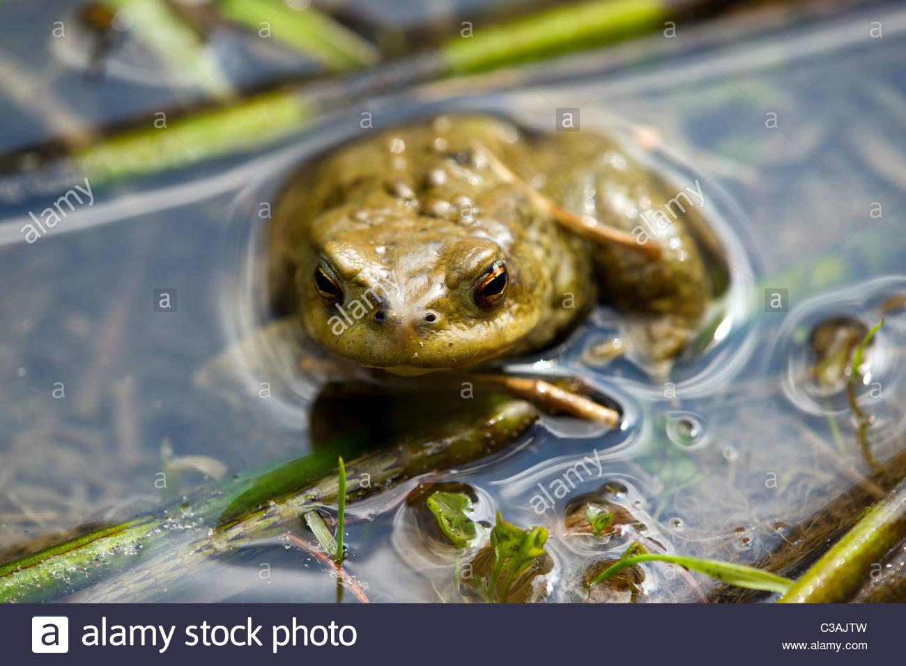 European common toad - Bufo bufo Stock Photo