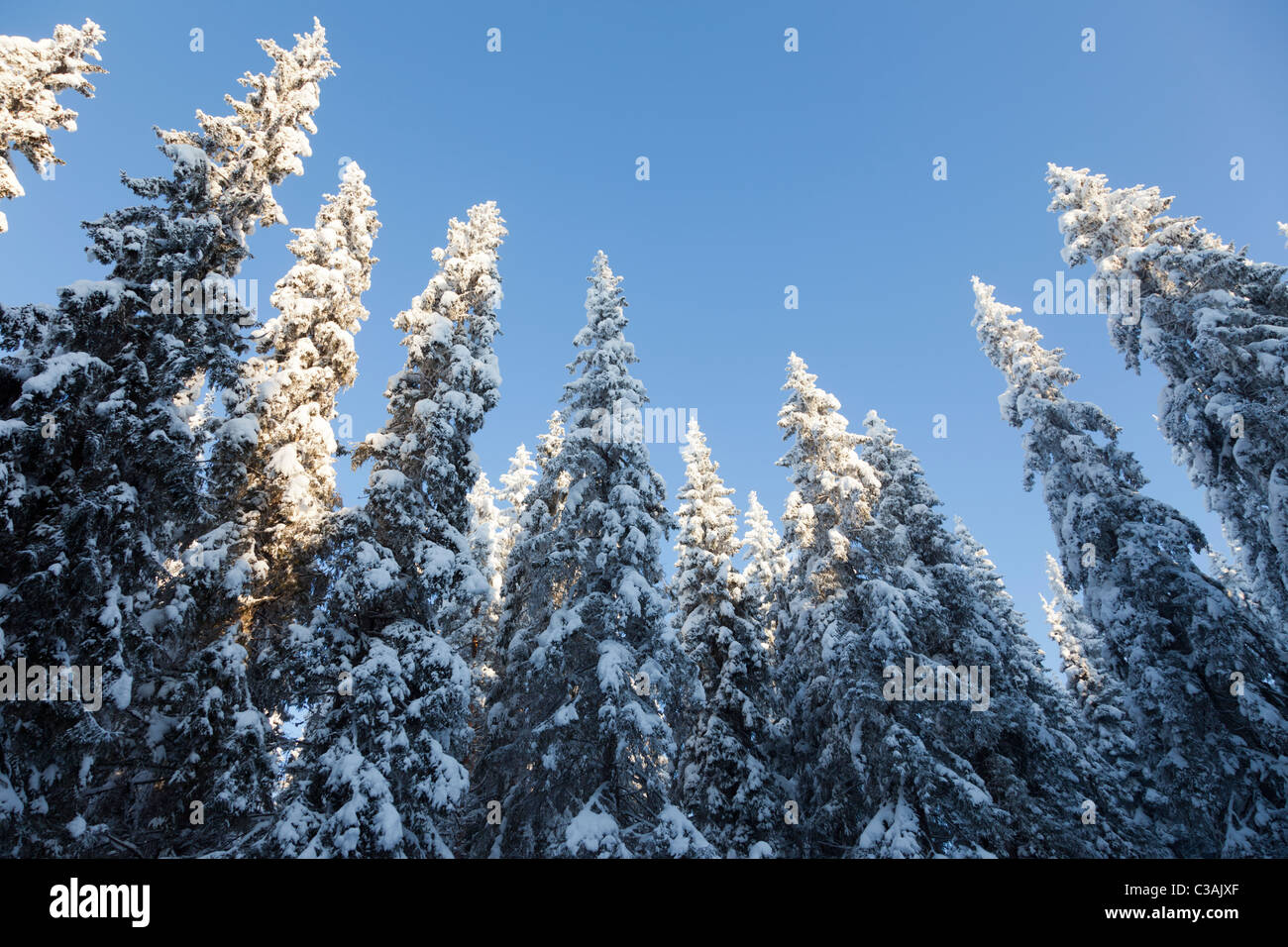 View of snow covered spruce ( Picea Abies ) treetops in the forest , at Winter Finland - Stock Image
